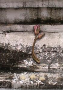 offrande-lotus-riz