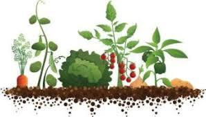 Plantes potager