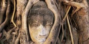 Tête bouddha ficus