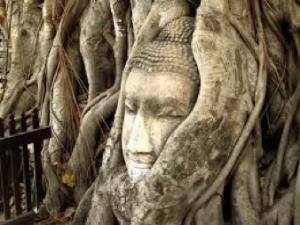 Tête bouddha ficus 2