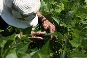 Récolter les haricots