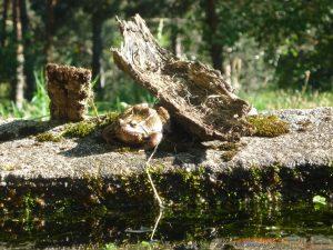 La grenouille du lavoir