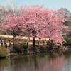 temple-cerisier-vignette