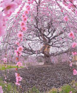 Vieux Cerisier en fleurs