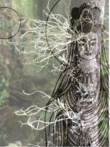 kanzeon lichen